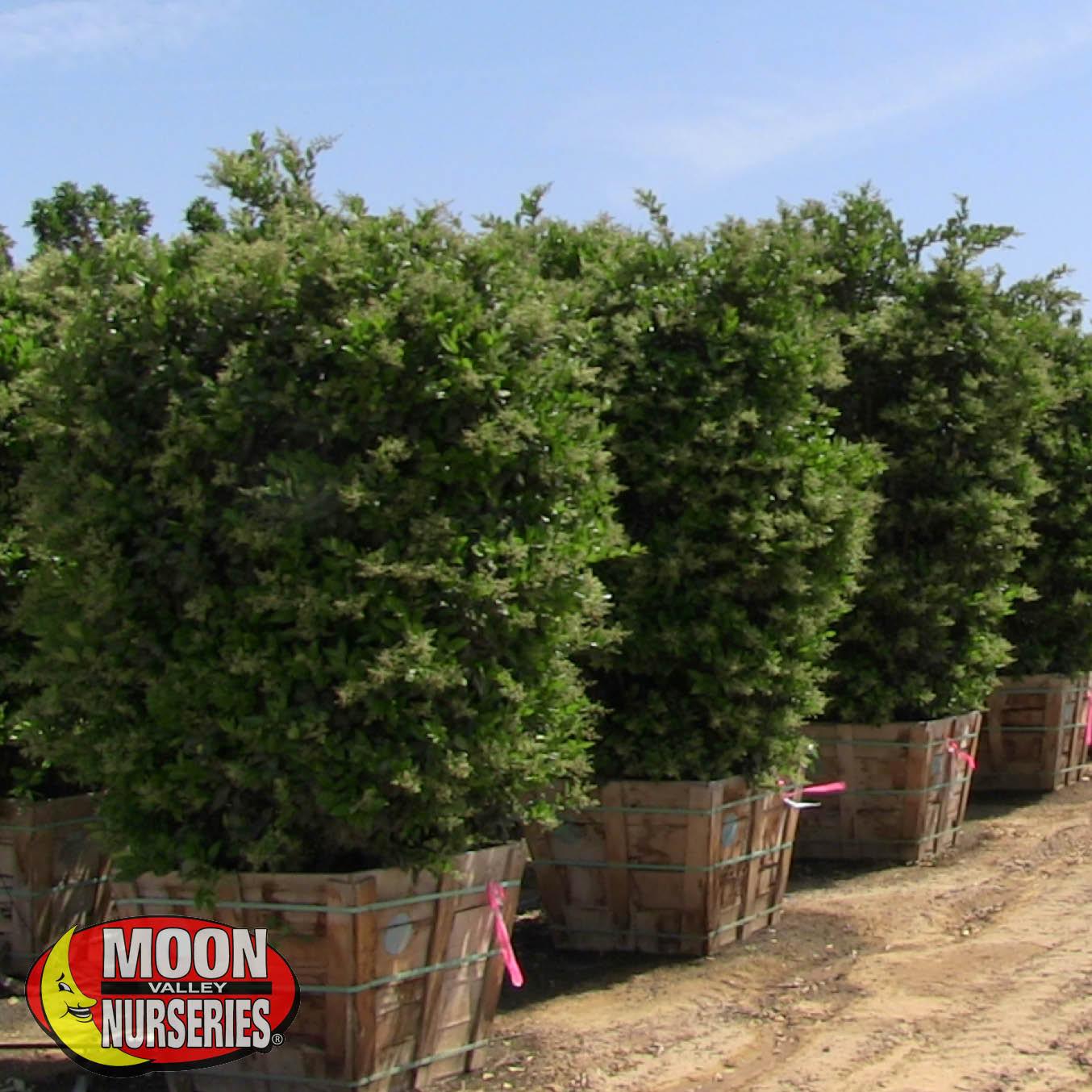 Bay Area California Plant Nursery Moon Valley Nurseries