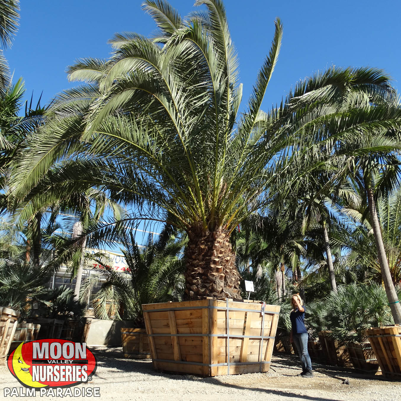 Palm Paradise Nursery San Diego Palm Tree Nursery