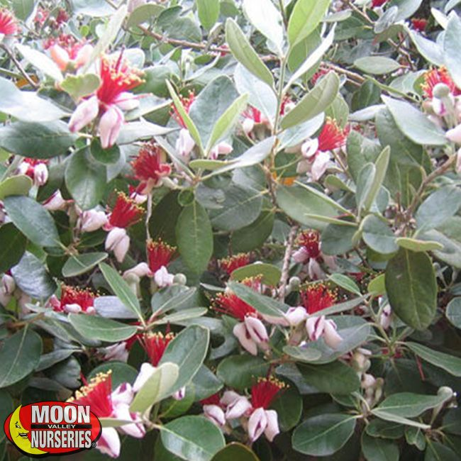 Pineapple Guava | Plants | Shrubs | Palm Paradise Nursery