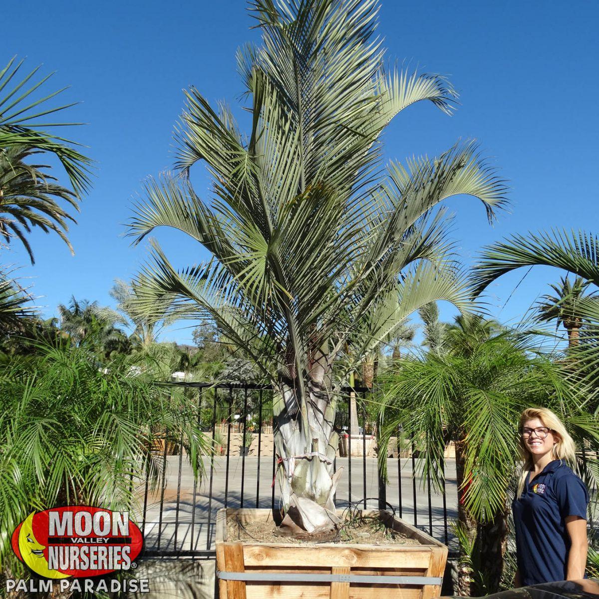 Triangle Palm Palm Tree Palm Paradise Nursery