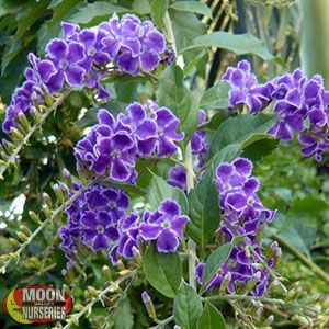 Brazilian Skyflower
