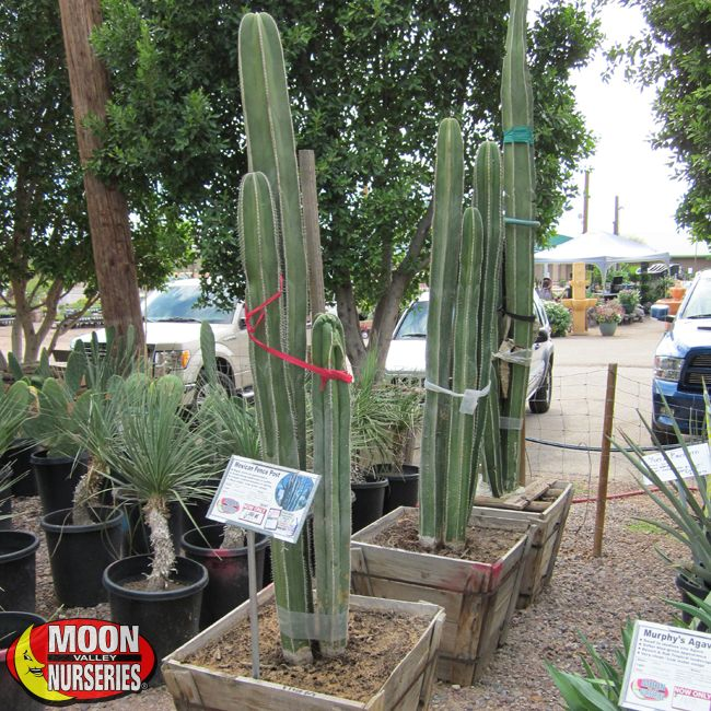Mexican Fence Post Plants Cacti Agave More Palm Paradise Nursery