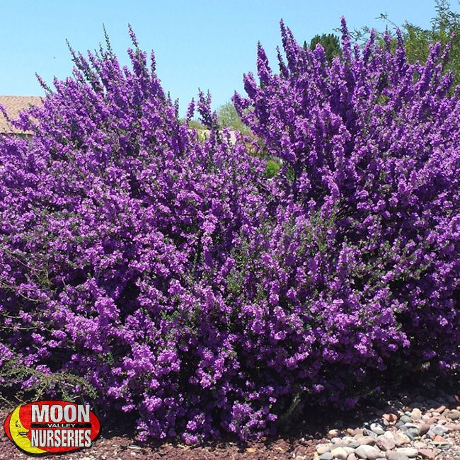 Chihuahuan Sage