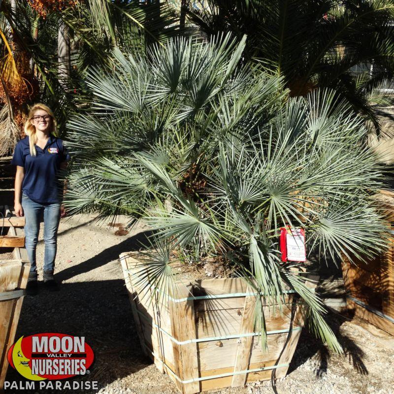 Blue Mediterranean Fan Palm