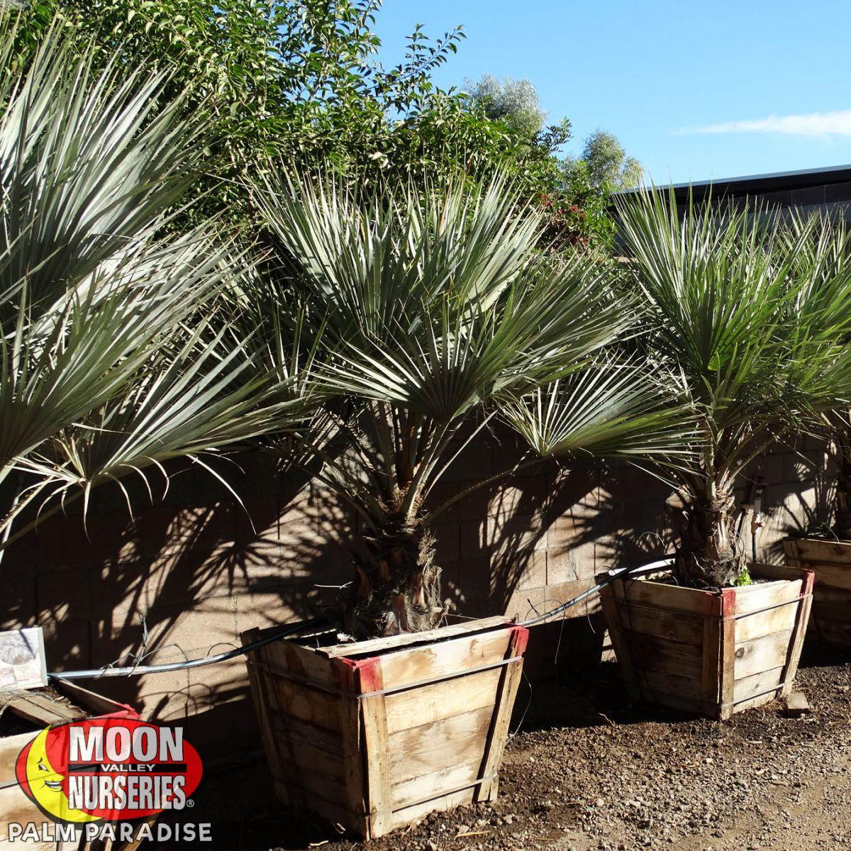 Mexican Blue Fan Palm Palm Tree Palm Paradise Nursery