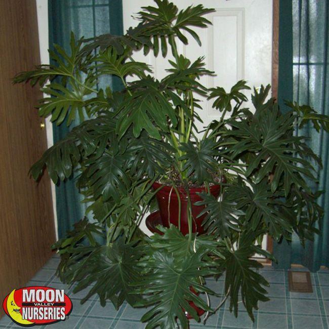 Split Leaf Philodendron Plants Shrubs Palm Paradise