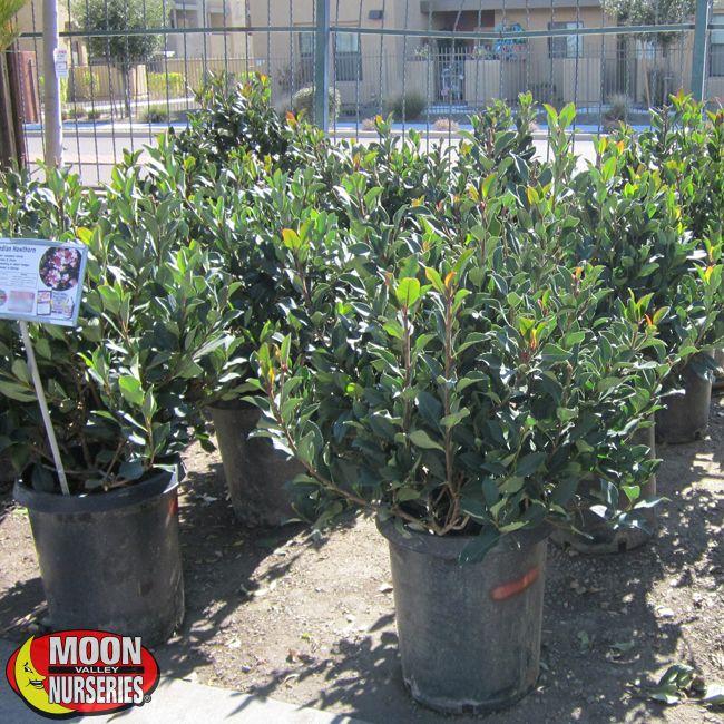 Indian Hawthorn Plants Shrubs Palm Paradise Nursery