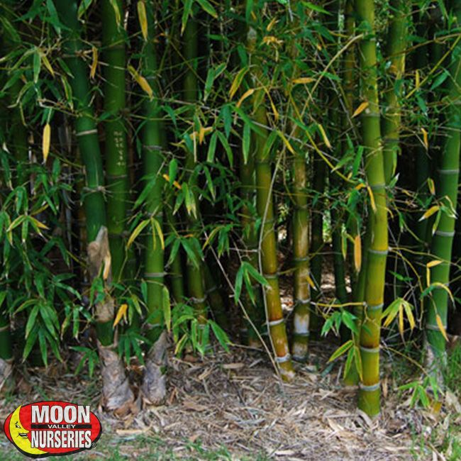 Giant Timber Bamboo Plants Hedge Palm Paradise Nursery