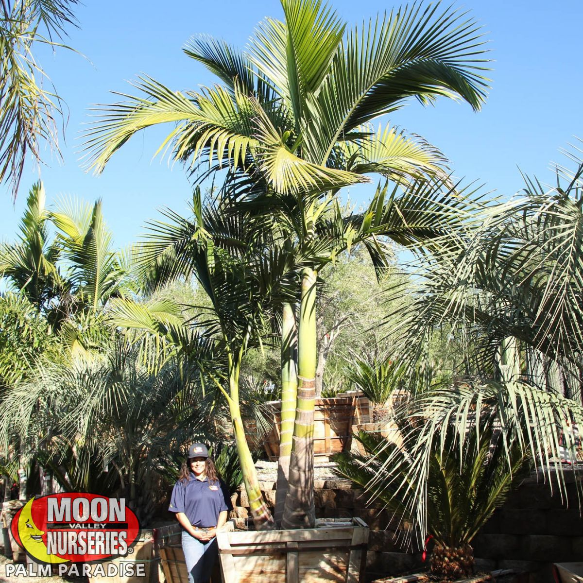 Walsh River King Palm Palm Tree Palm Paradise Nursery