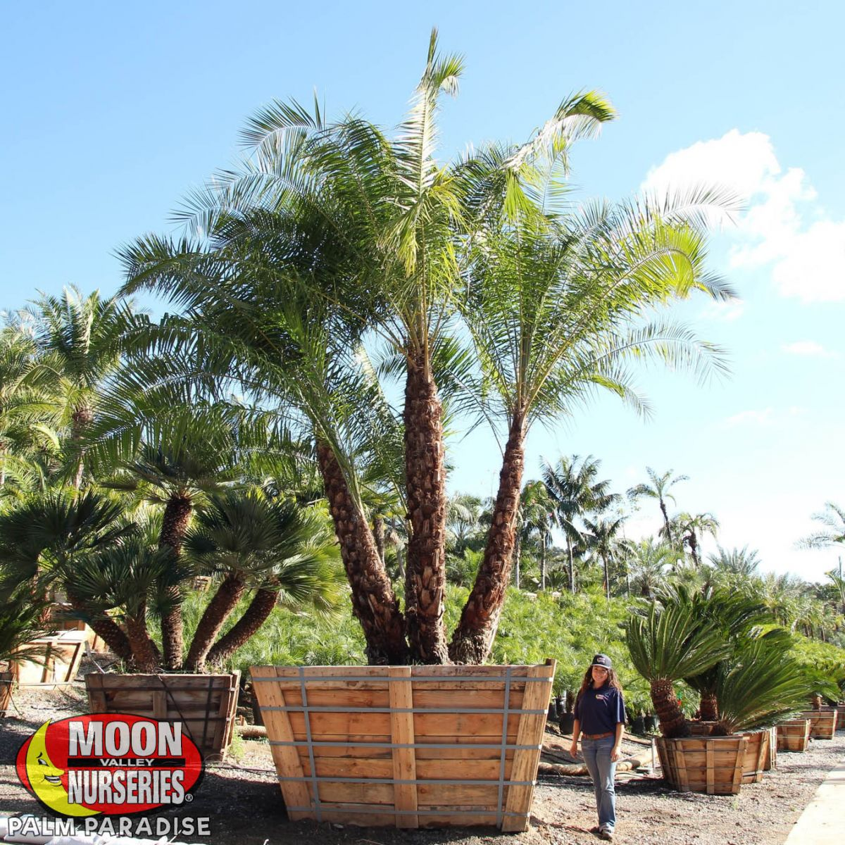 Senegal Date Palm Palm Tree Palm Paradise Nursery