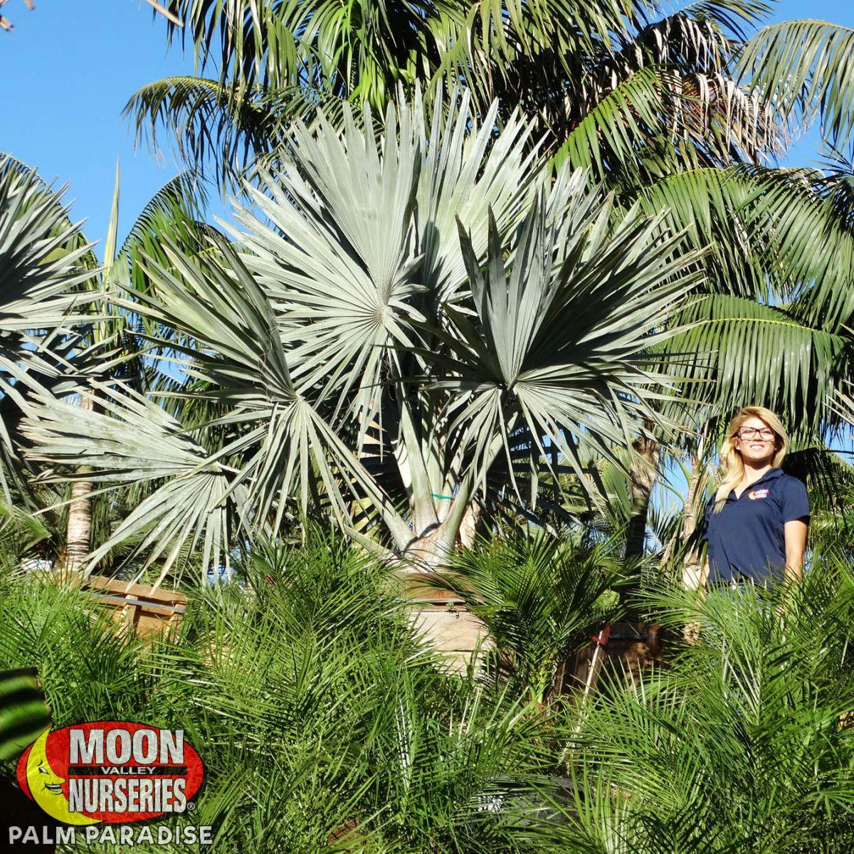 Bismarck Palm Palm Tree Palm Paradise Nursery