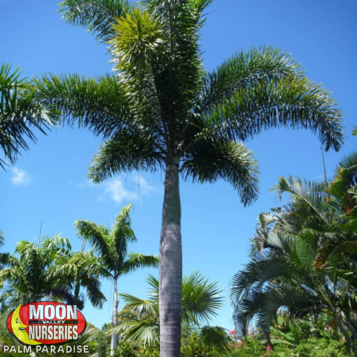 Foxtail Palm Palm Trees Palm Paradise Nursery