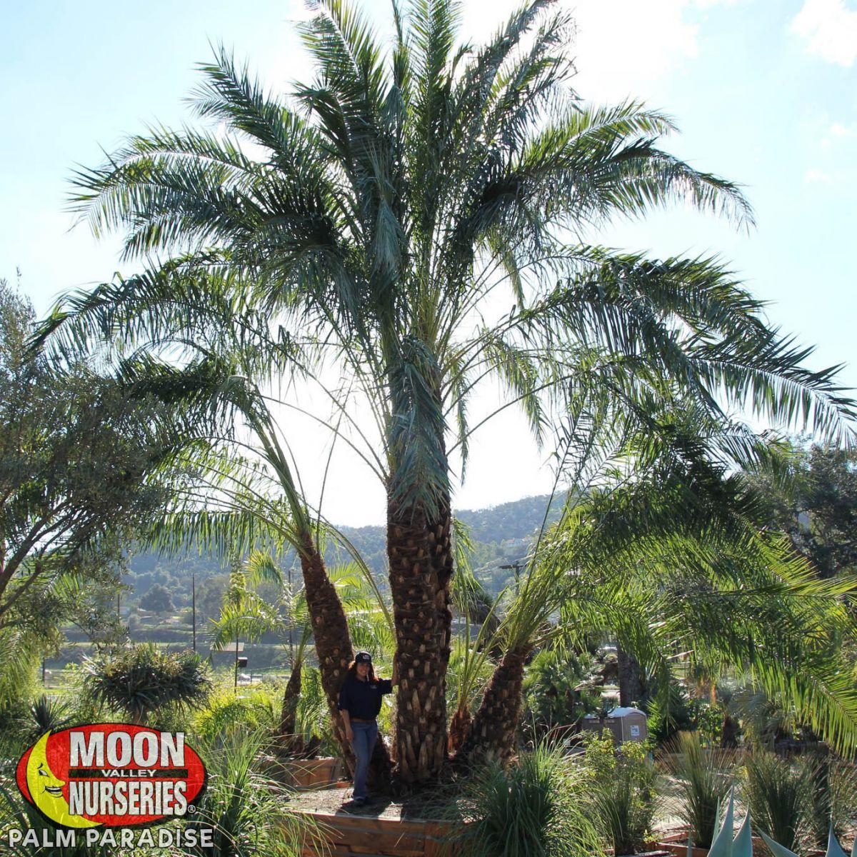 Senegal Date Palm Palm Tree Palm Paradise Nursery