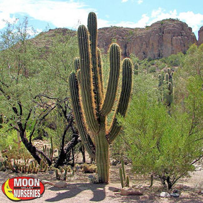 Cardon grande cactus cacti agave more palm paradise for Cactus argentina