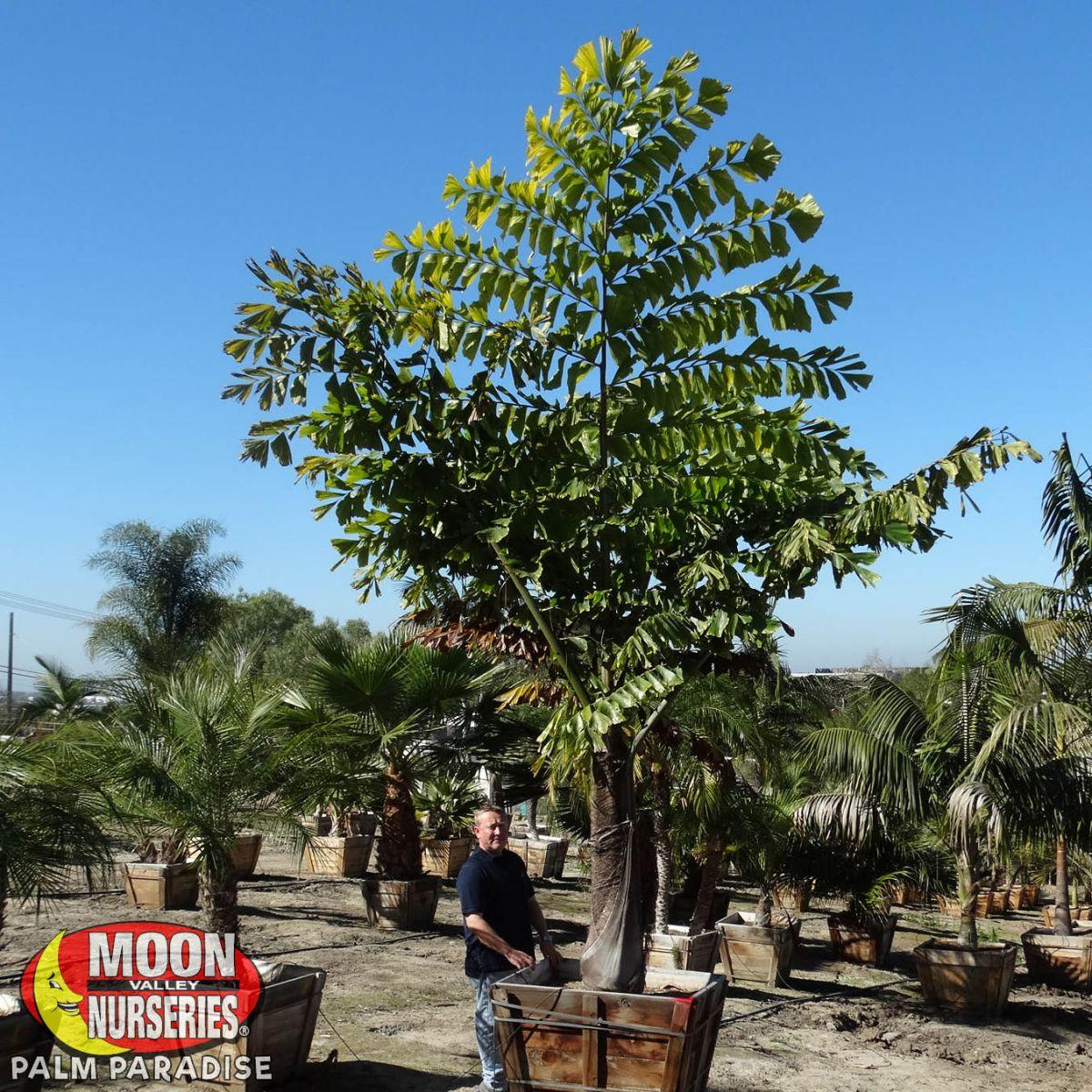 King Kong Fishtail Palm Palm Tree Palm Paradise Nursery