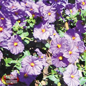 Solanum 'Purple Potato Vine'