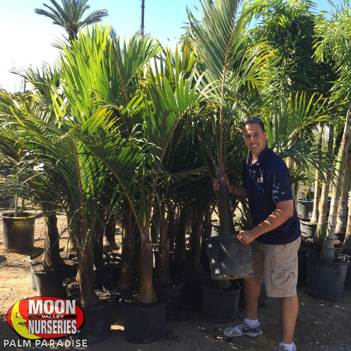 Bottle Palm Palm Tree Palm Paradise Nurseries