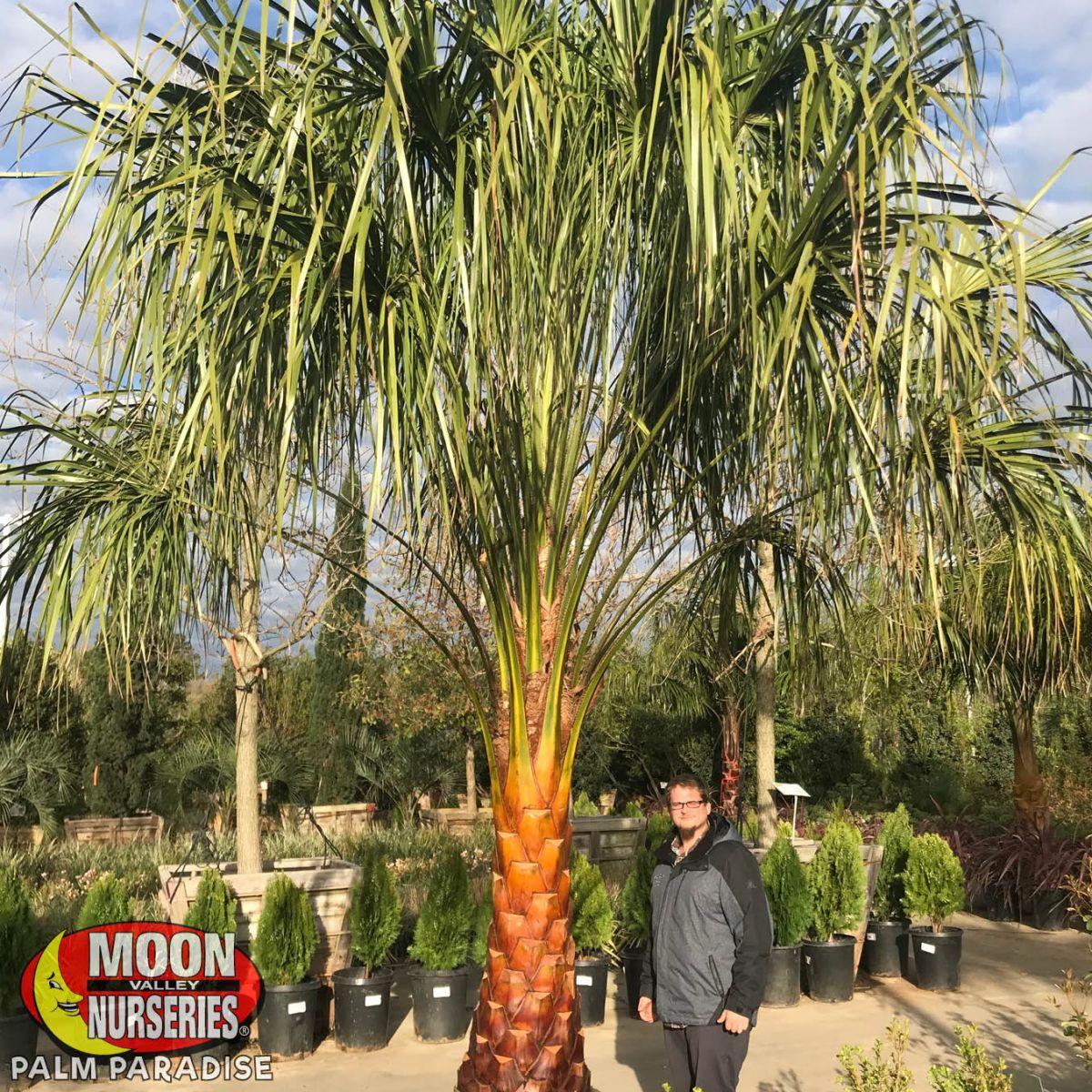 Mule Palm Palm Tree Palm Paradise Nursery
