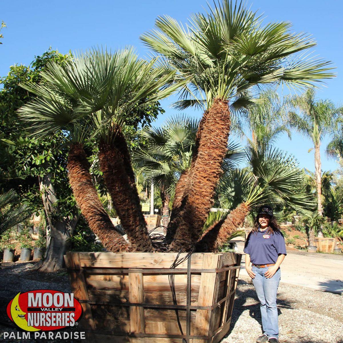 Mediterranean Fan Palm Palm Tree Palm Paradise Nursery