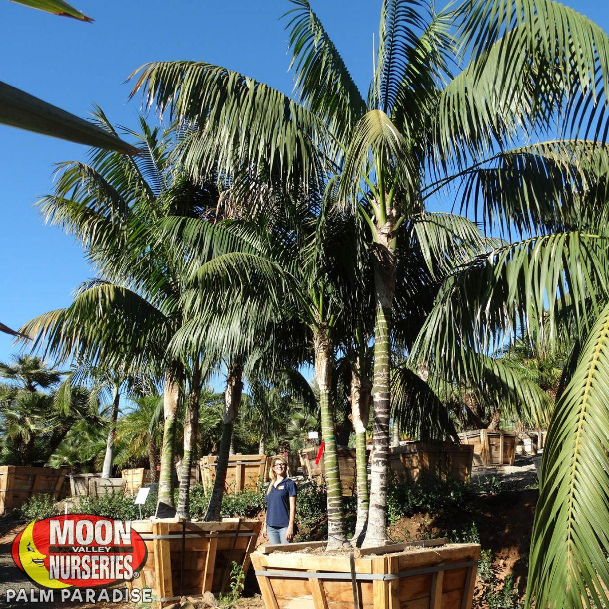 Kentia Palm Palm Tree Palm Paradise Nursery