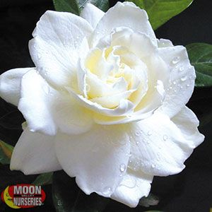 Everblooming Gardenia
