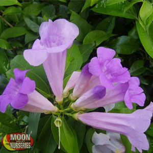 Purple Trumpet Vine