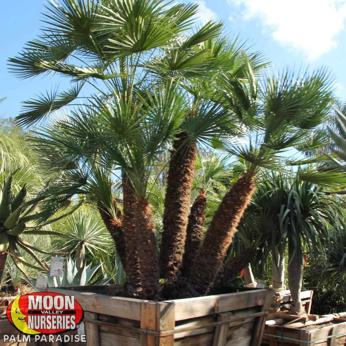 Mediterranean Fan Palm Palm Tree Palm Paradise Nursery