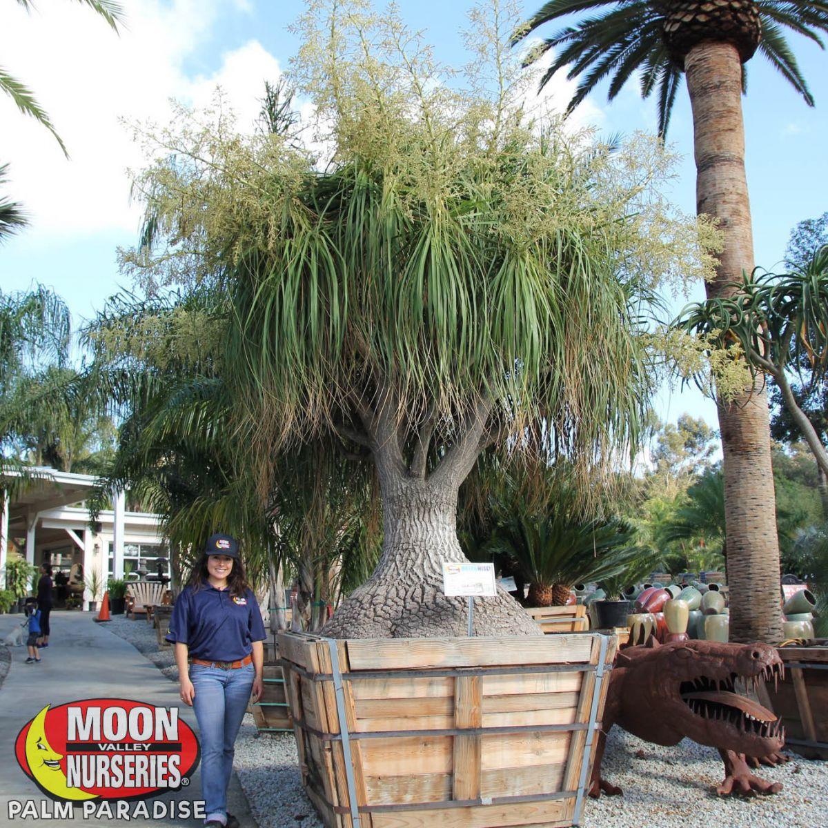 Ponytail Palm Palm Tree Palm Paradise Nursery