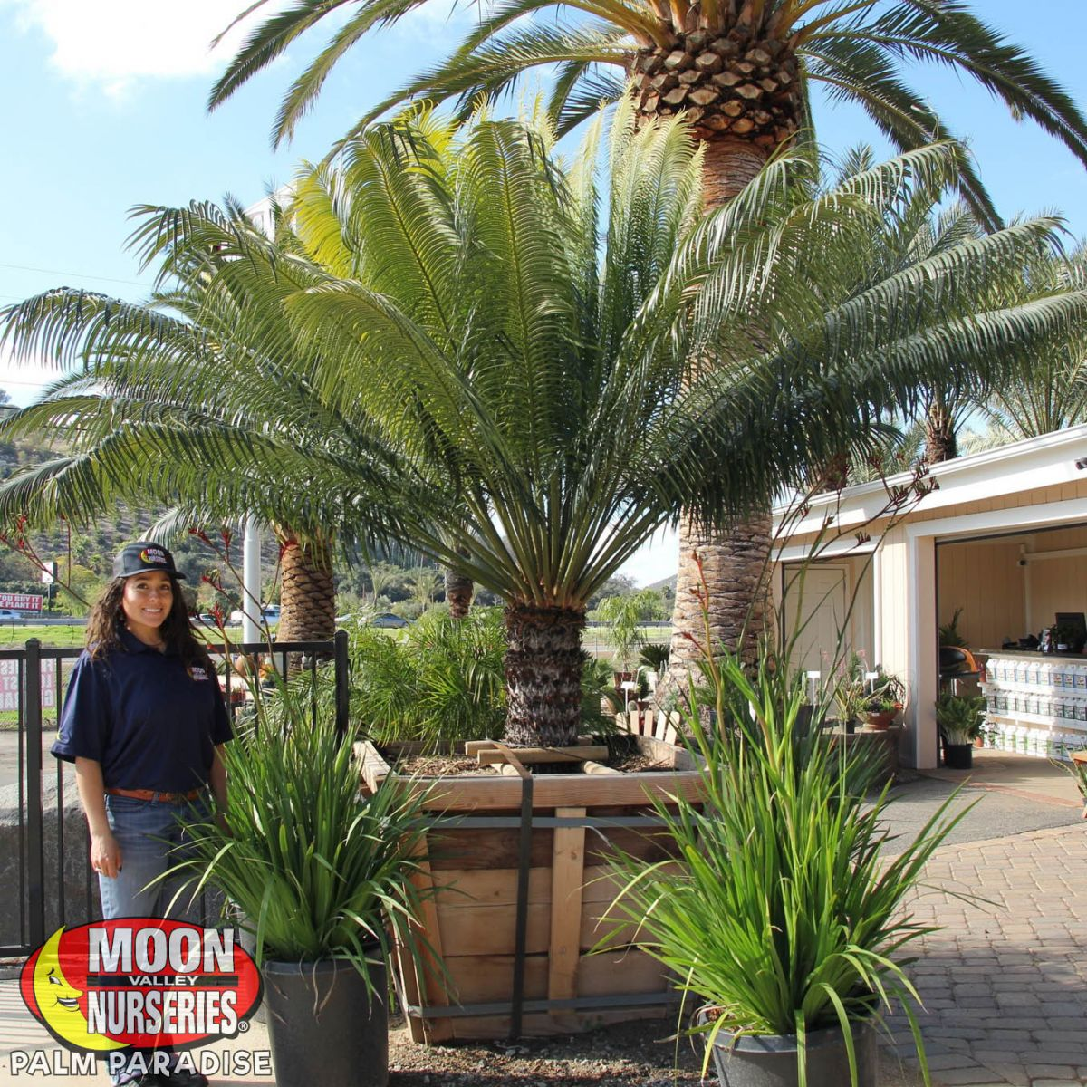 Queen Sago Palm Palm Tree Palm Paradise Nursery