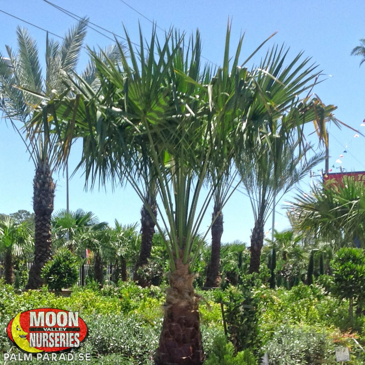 Ribbon Palm Palm Tree Palm Paradise Nursery