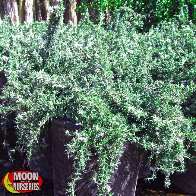 Trailing Rosemary Plants Shrubs Palm Paradise Nursery