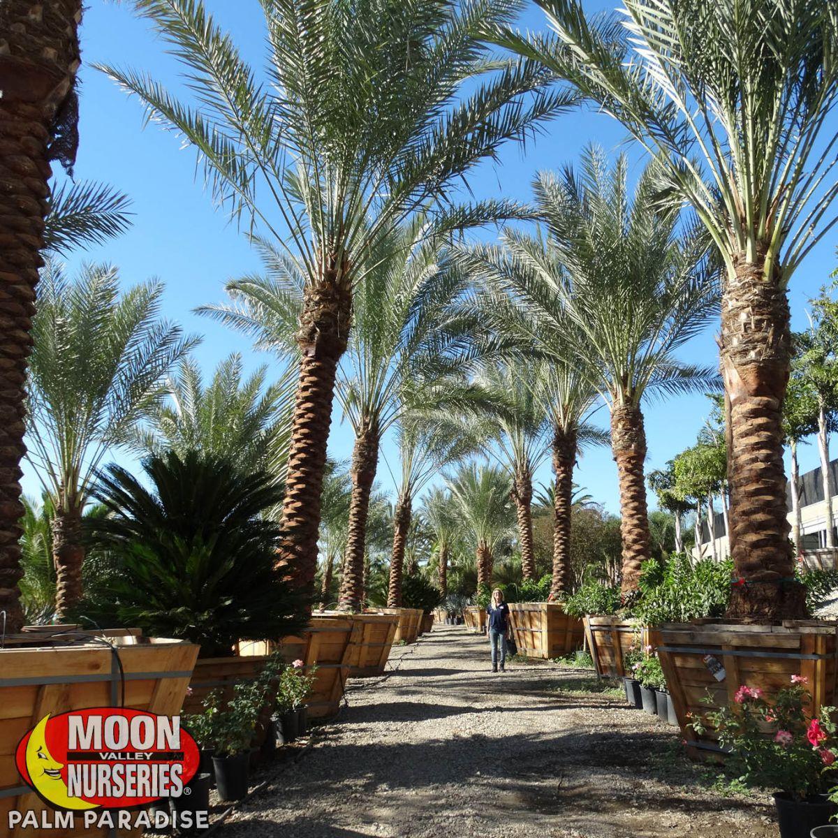 Date Palm Palm Tree Palm Paradise Nursery