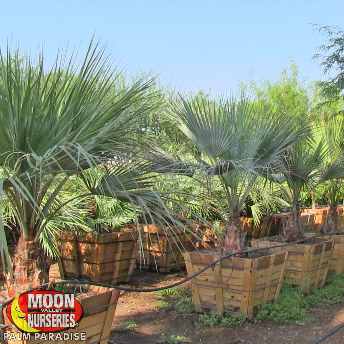 Mexican Blue Fan Palm Palm Tree Palm Paradise Nursery