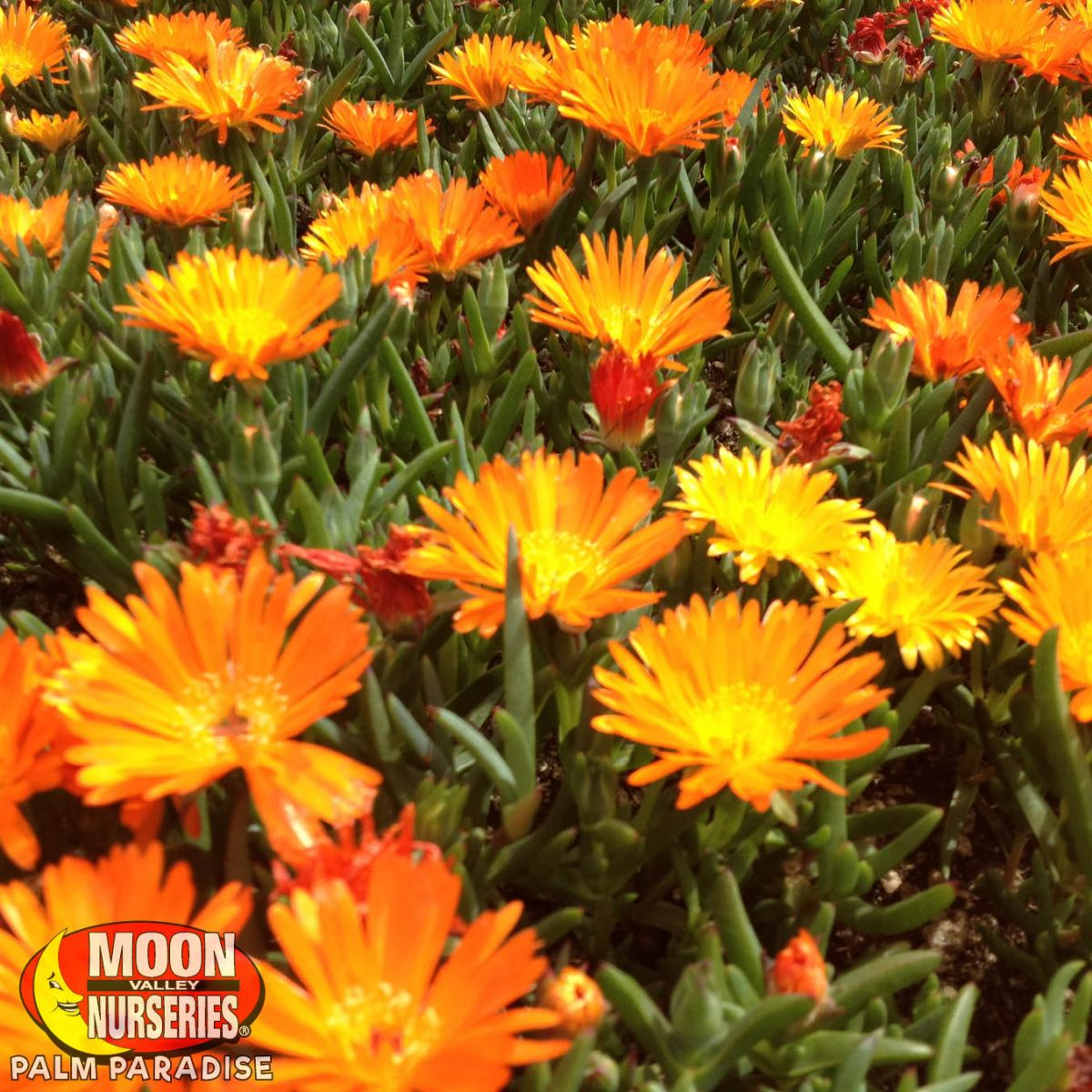 Ice Plant Ground Cover Palm