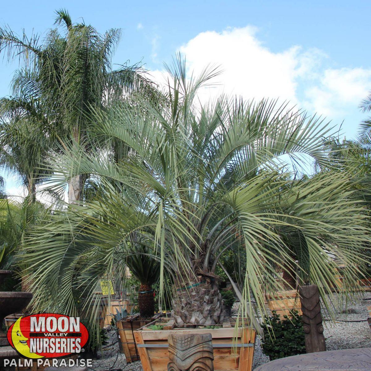 Pindo Palm Palm Tree Palm Paradise Nursery