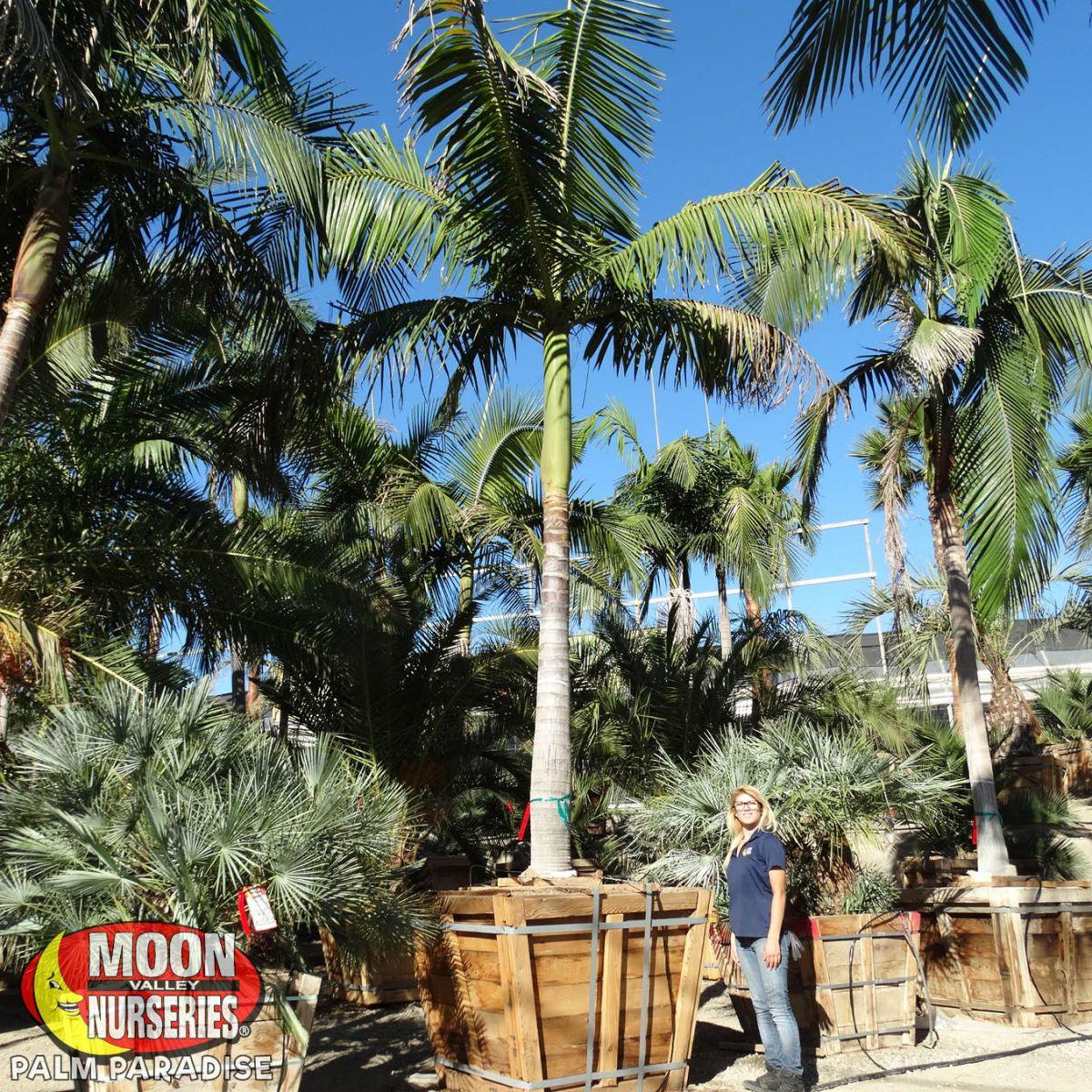 King Palm Palm Tree Palm Paradise Nursery