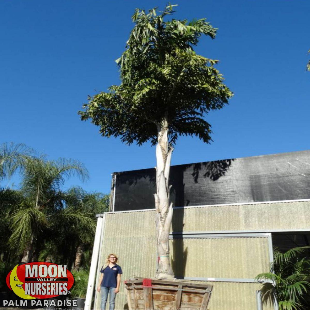 Fishtail Palm Palm Tree Palm Paradise Nursery