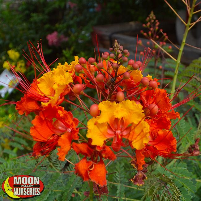 Red Mexican Bird Of Paradise Plants Shrubs Palm
