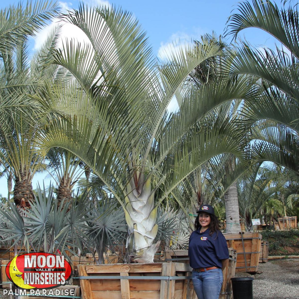 Triangle Palm Palm Tree Palm Paradise Nursery