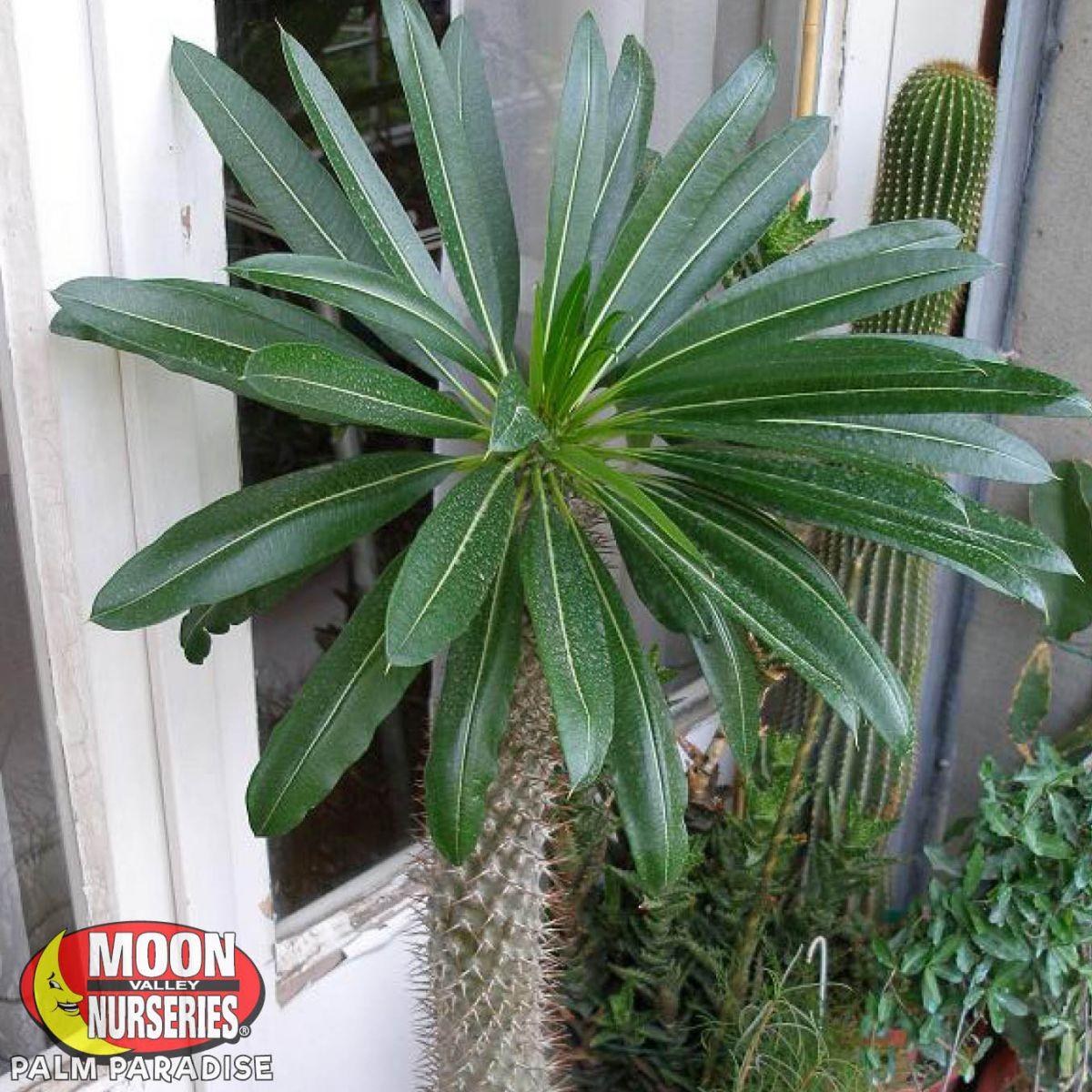 Madagascar Palm Palm Tree Palm Paradise Nursery