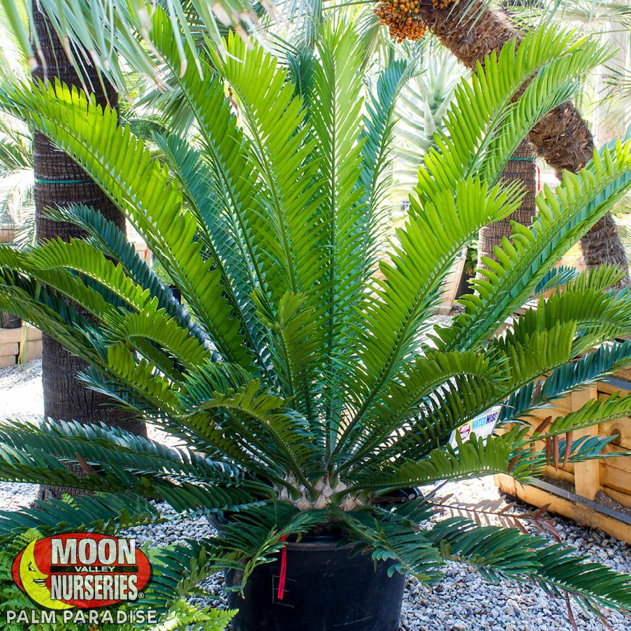 Natal Giant Cycad
