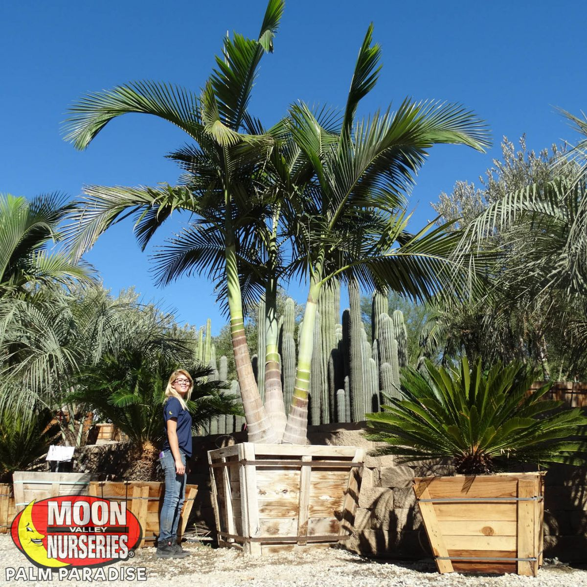 King Palm Palm Tree Palm Paradise Nursery