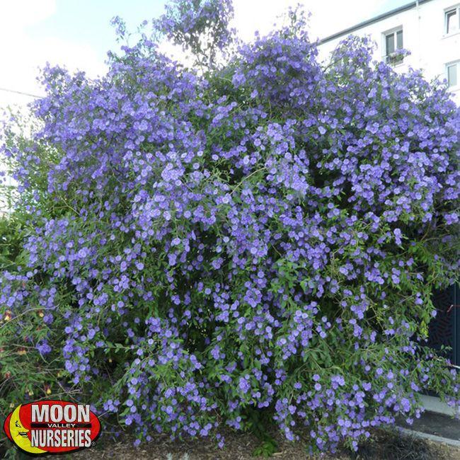 Solanum Purple Potato Vine Plants Shrubs Palm