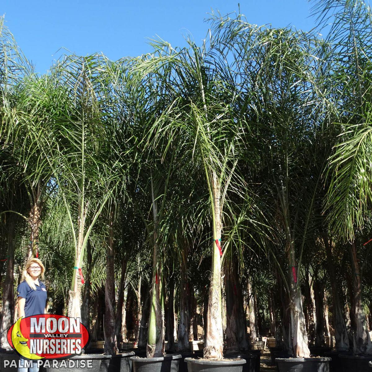 Piru Queen Palm Palm Tree Palm Paradise Nursery