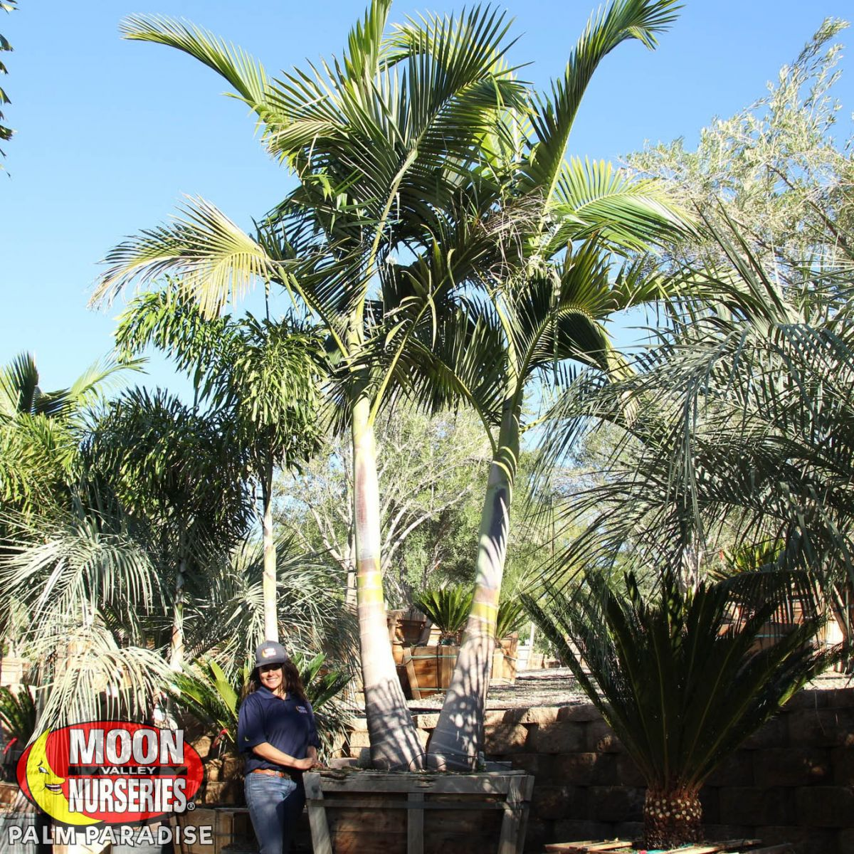 Walsh River King Palm