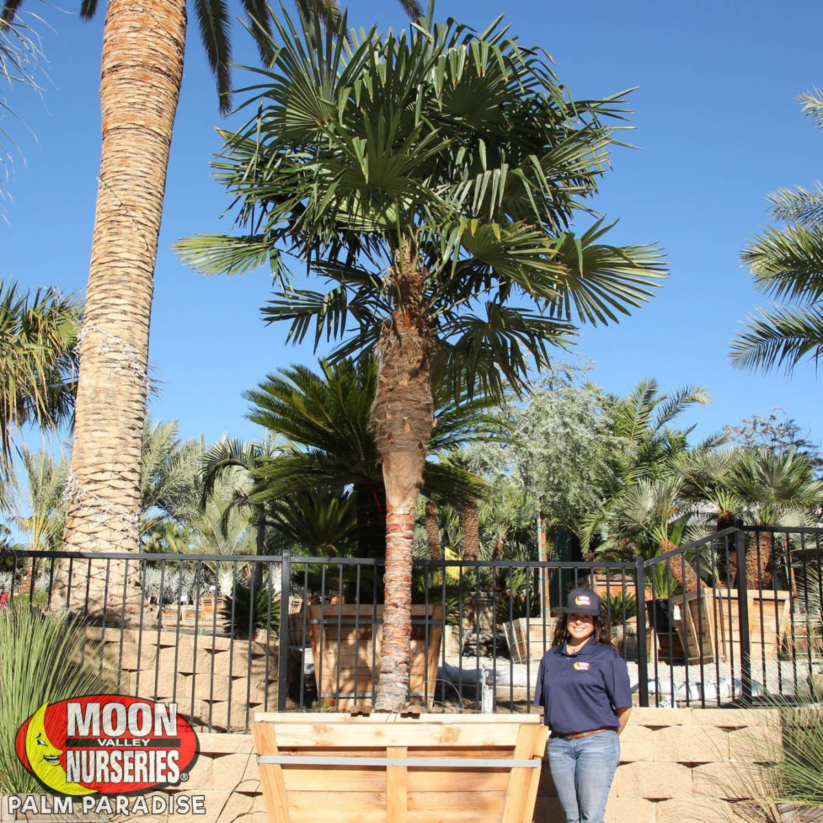 Windmill Palm Palm Tree Palm Paradise Nursery